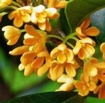 Osmanthus Absolute 3