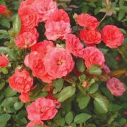 Rose Oil Chinese