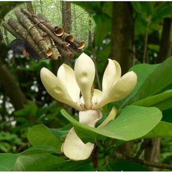 Magnolia bark extract .