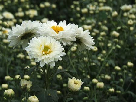 Chrysanthemum absolute Oil